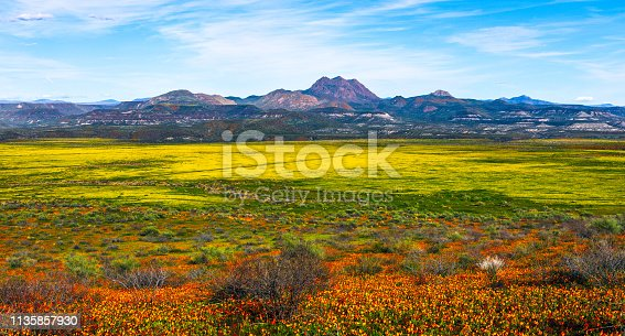 Panoramic view of a colorful, spring wildflower super bloom in the Arizona desert.