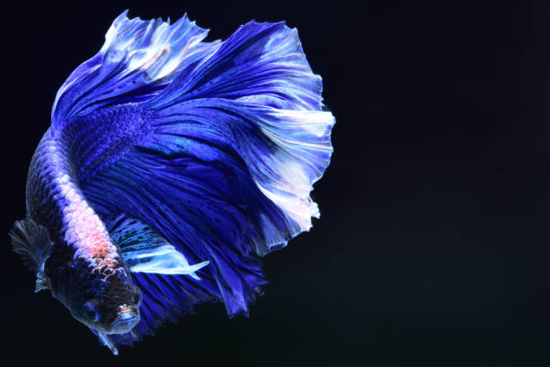174 Purple Betta Fish Siamese Fighting Fish Stock Photos Pictures Royalty Free Images Istock