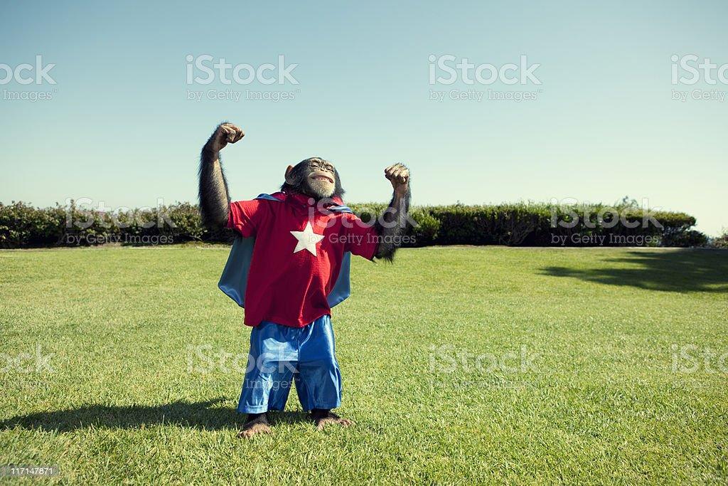 Super Chimp royalty-free stock photo