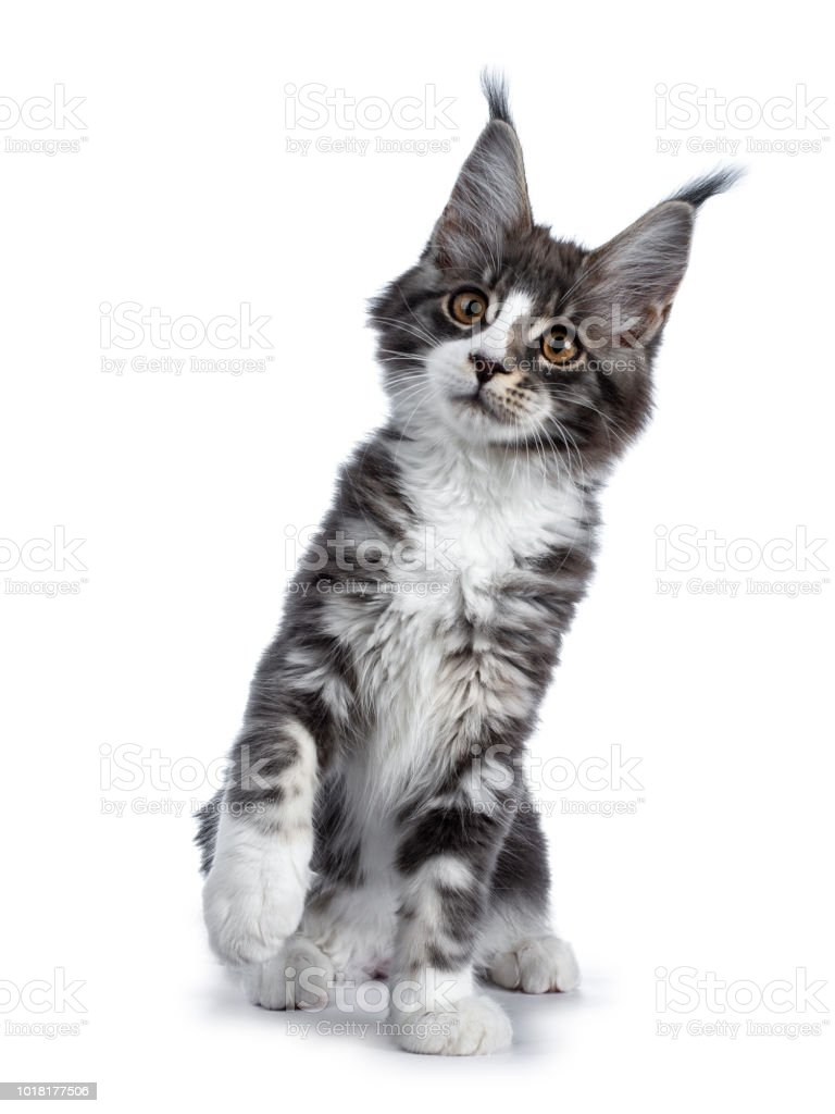 Super Cute Blue Tabby With White Maine Coon Cat Kitten