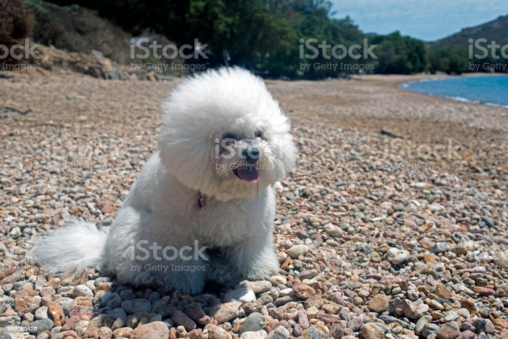 A super cute bolognese breed dog like a toy at the beach in summer...