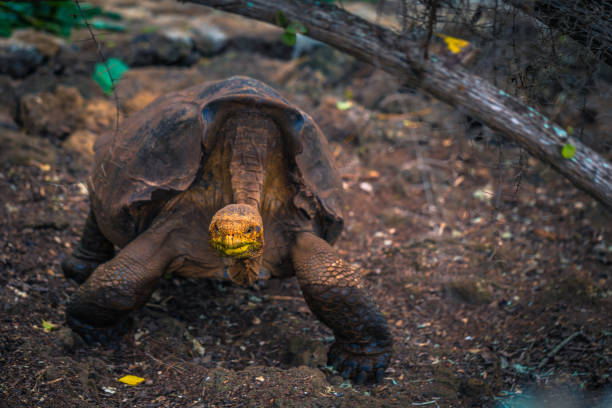 Galapagos Inseln - 23. August 2017: Super Diego, die Riesenschildkröten in Darwin Research Center in Santa Cruz Island, Galapagos-Inseln, Ecuador – Foto
