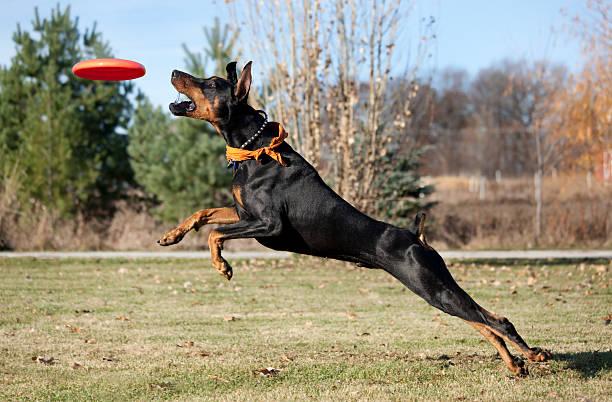 Super Dog; Doberman Pinscher Running, Jumping, Striving to Catch Frisbee stock photo