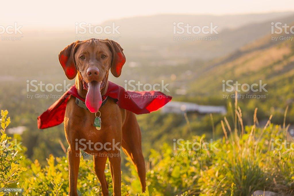 Vizsla dog standing proud with cape