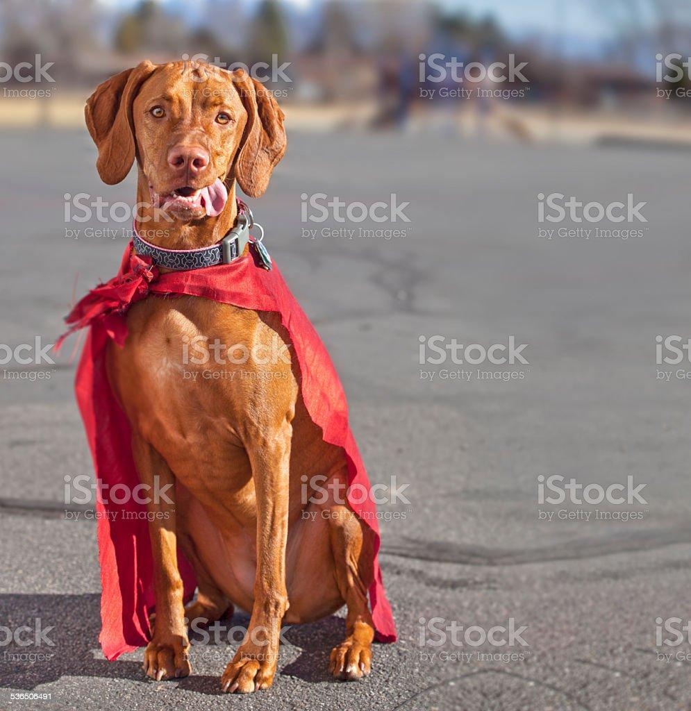 Vizsla dog with red cape at park