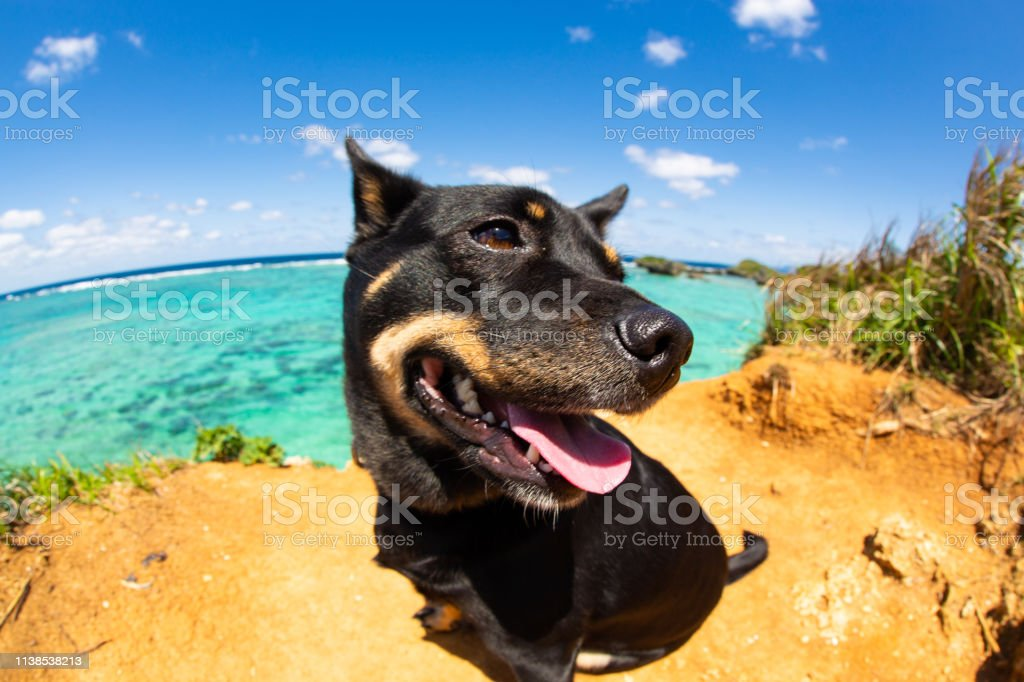 A smiling Shiba mix dog looking happy enjoying the sun by a stunning...