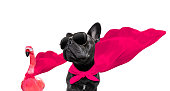 super hero french bulldog dog and flamingo with  red cape and  sunglasses for justice and strenght isolated on white background