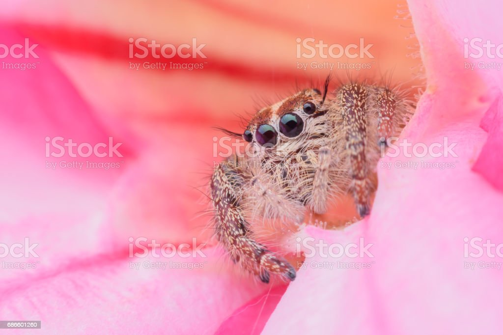 Super macro female Hyllus diardi or Jumping spider on Desert Rose royalty-free stock photo
