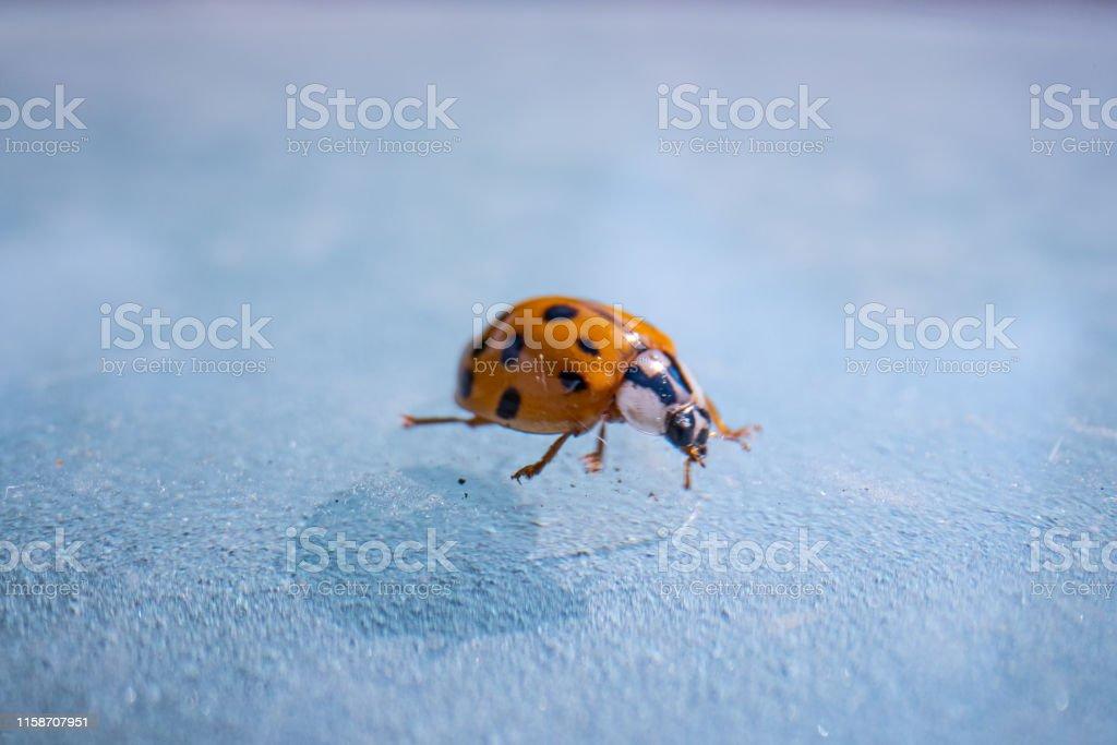 super macro image of a ladybug, Super macro shot of European seven...
