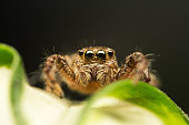 Super macro image of Jumping spider (Salticidae), High magnification, Good sharpen and detailed, eye and face very clear.