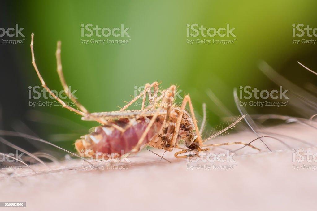 Super macro Mosquito sucking human blood stock photo