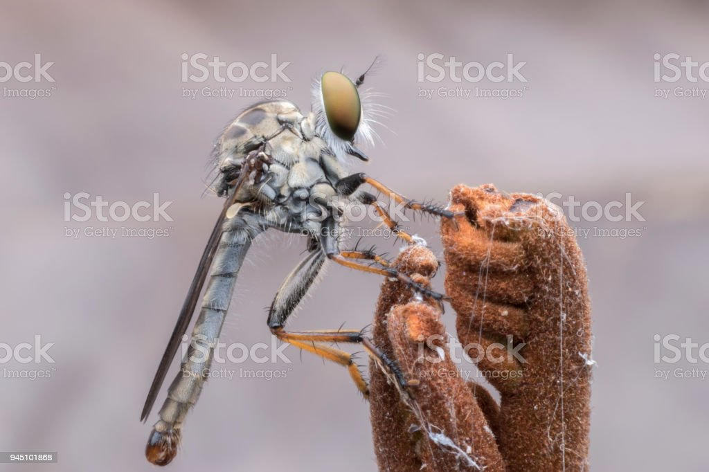 Super macro Robber fly perching on treetop stock photo