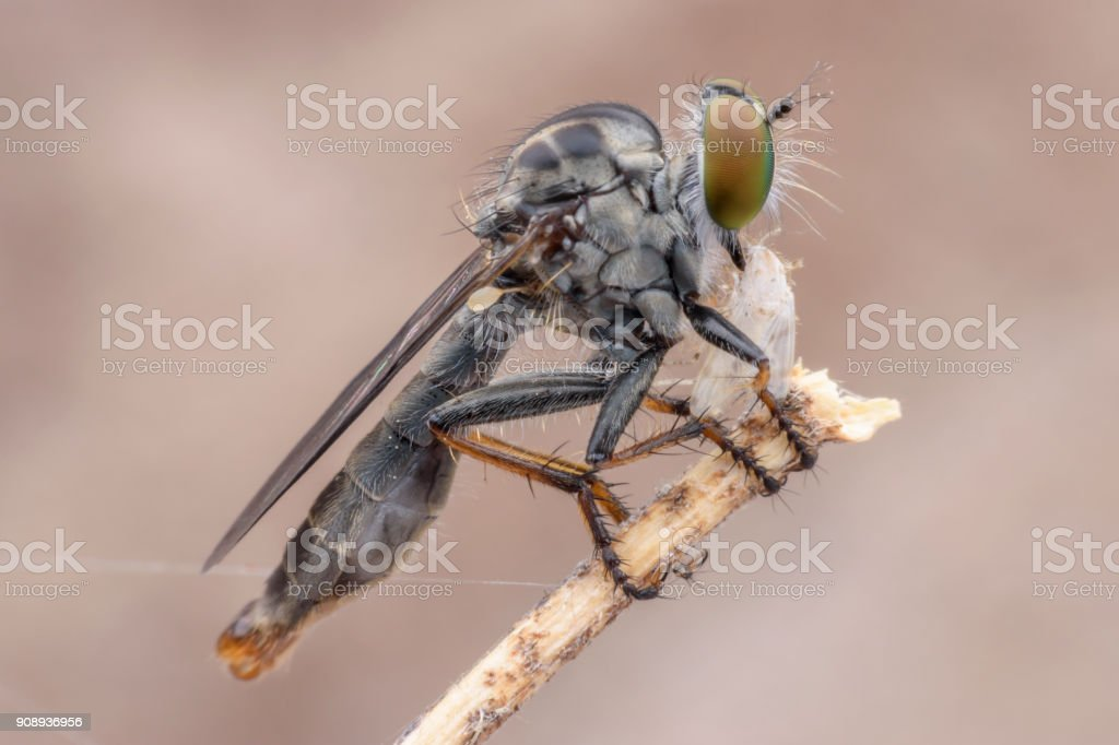 Super macro Robber fly with prey perching on branch stock photo