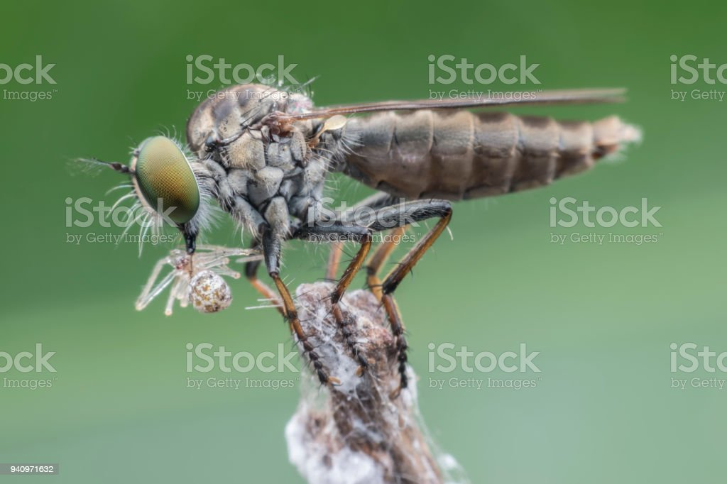 Super macro Robber fly with prey perching on treetop stock photo