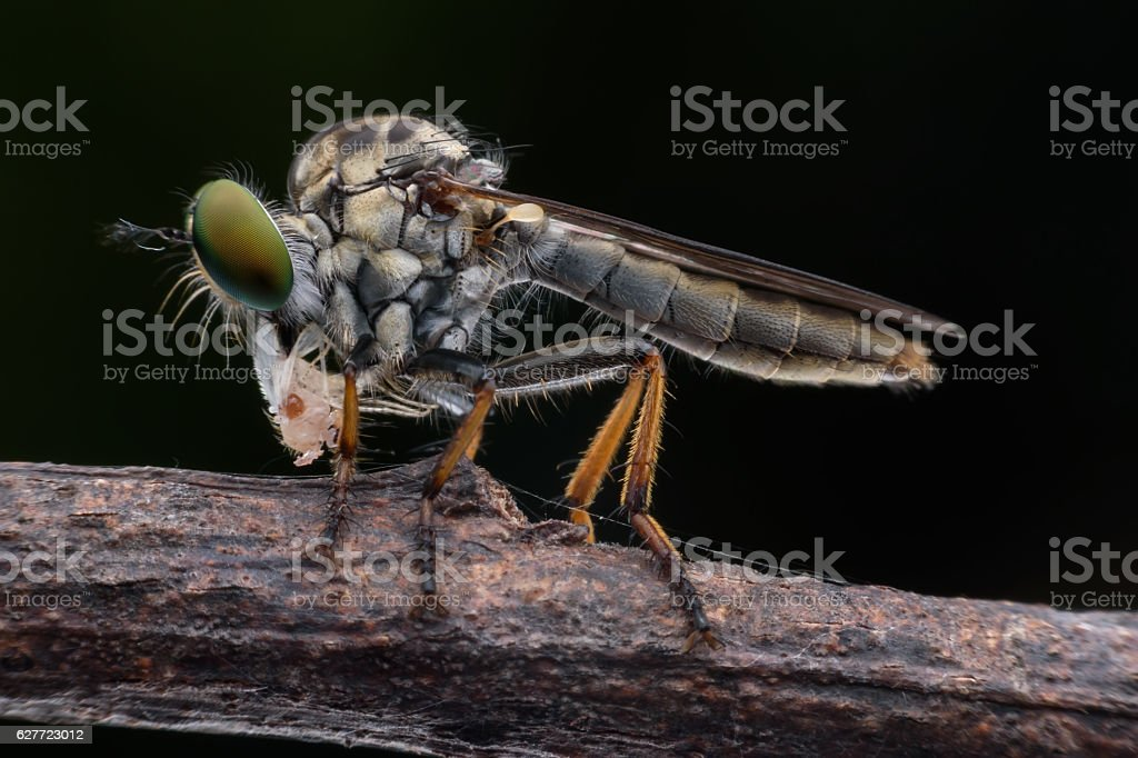 Super macro Robber fly wth prey stock photo