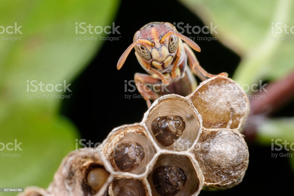 Super macro wasp and larvals in wasp nest - foto de stock