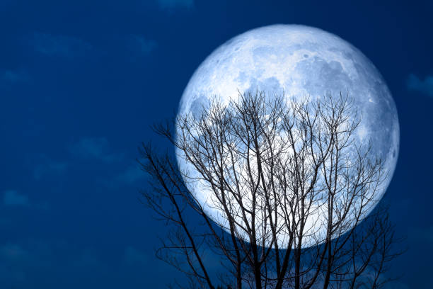 super moon back silhouette dry tree in the night sky stock photo