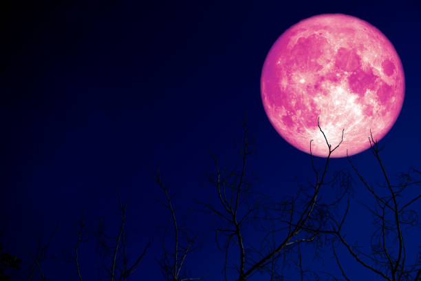 super pink egg moon back on silhouette plant and trees on night sky stock photo
