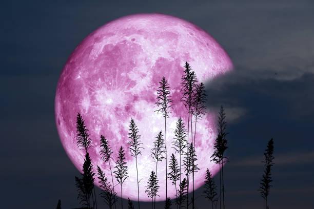 super sturgeon moon on night red sky back silhouette tree stock photo