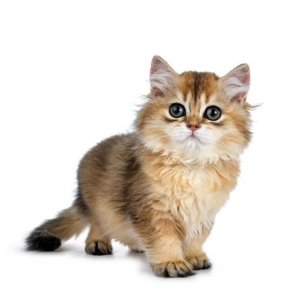 Super doux or British Longhair chat chaton avec de grands yeux verts, debout un peu les manières latérales, à la recherche à côté de la caméra isolée sur fond blanc avec queue pendait - Photo