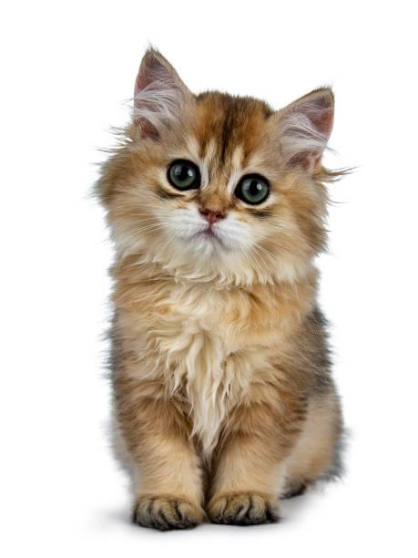 Super doux or British Longhair chat chaton avec de grands yeux verts, assis tout droit vers le haut, la recherche adorables à caméra isolé sur fond blanc - Photo