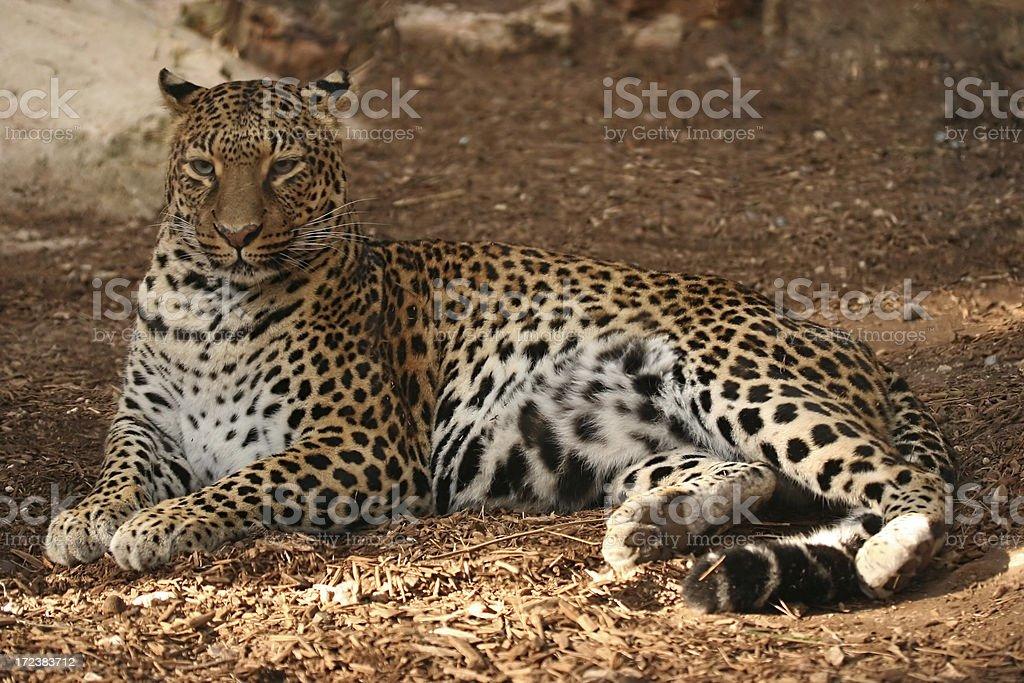 Superb, elegant jaguar royalty-free stock photo