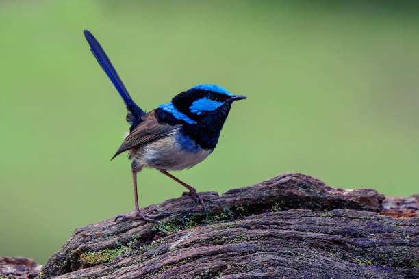 Superb Fairy Wren perched on a tree stump stock photo