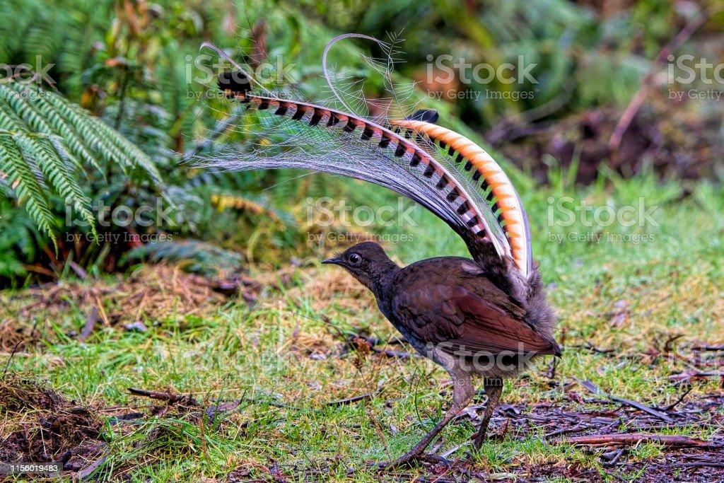 Superb Lyrebird (Menura novaehollandiae) - Royalty-free Animal Stock Photo