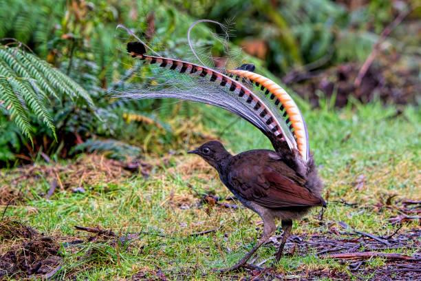 Superb Lyrebird (Menura novaehollandiae) stock photo