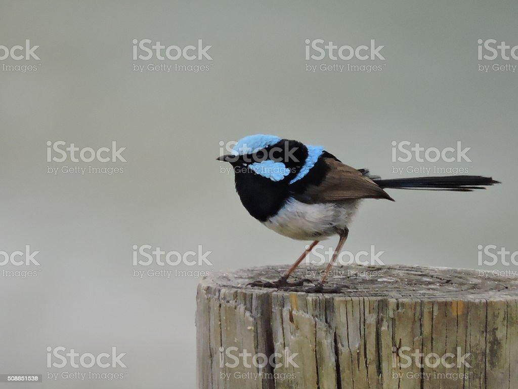 Superb Male Fairy-wren stock photo