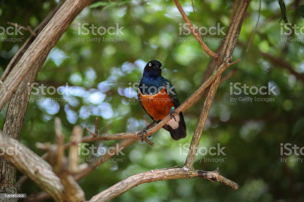 Black Bird With Orange Chest 1