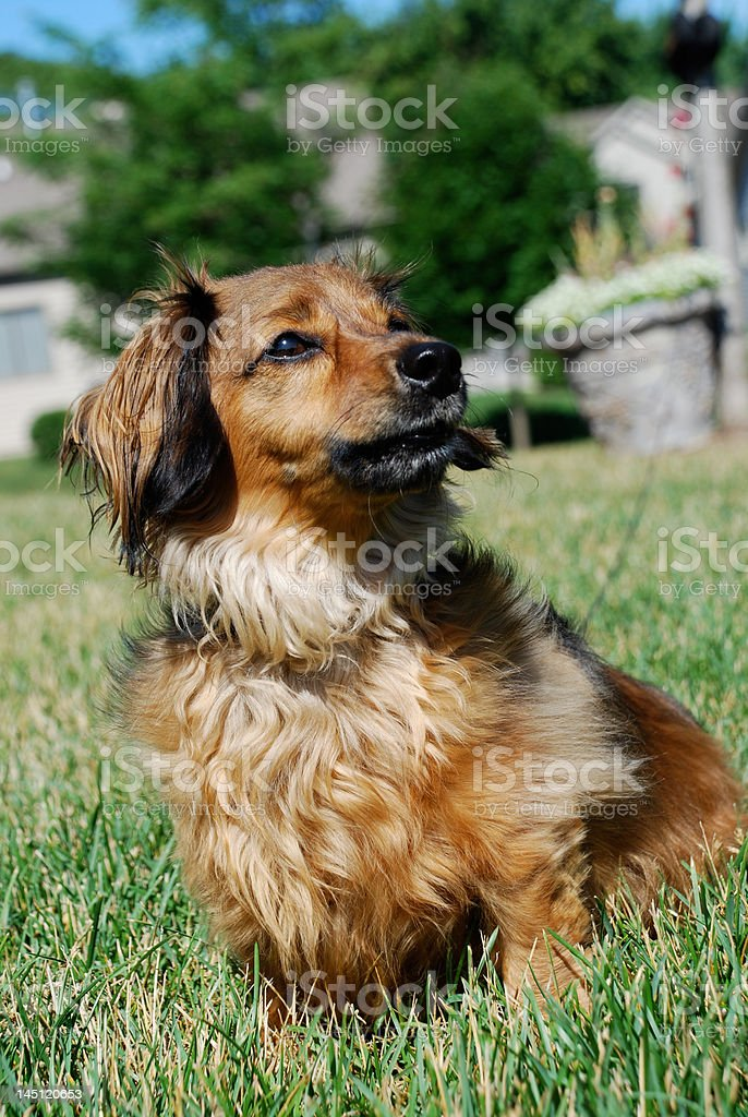 Superdog royalty-free stock photo