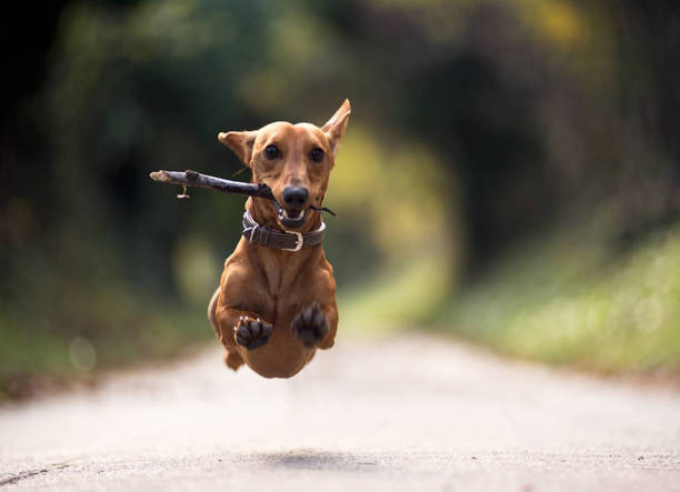 superdog - dog jumping stock photos and pictures
