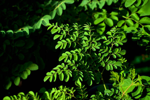 superfood moringa tree leaves from above with deep shadows stock photo