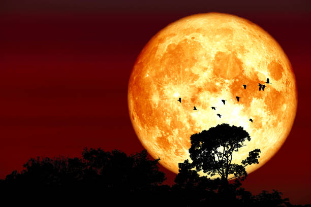Superharvest blood moon silhouette top tree and birds flying on night red sky stock photo