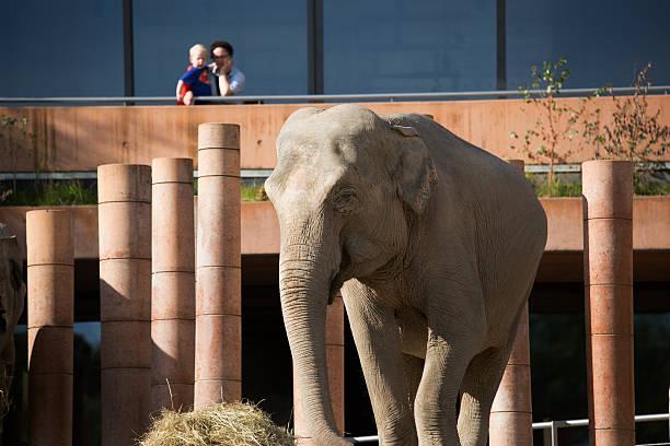 Superman and elephant in Copenhagen Zoo stock photo