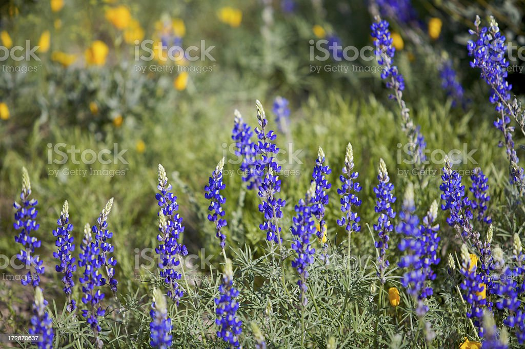 Superstion Fiori di montagna foto stock royalty-free