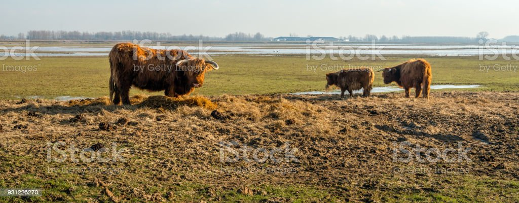 Les vaches Highland alimentation supplémentaire dans une réserve naturelle néerlandaise - Photo