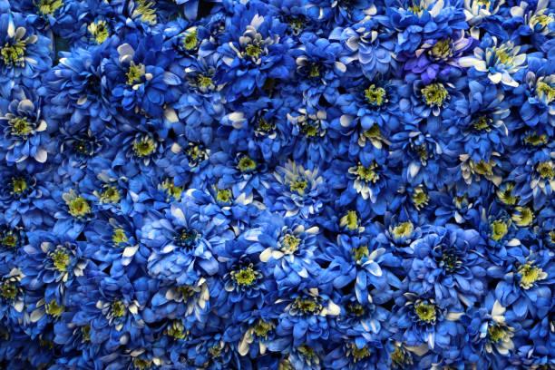 Oberfläche mit blauen Chrysanthemen abgedeckt – Foto