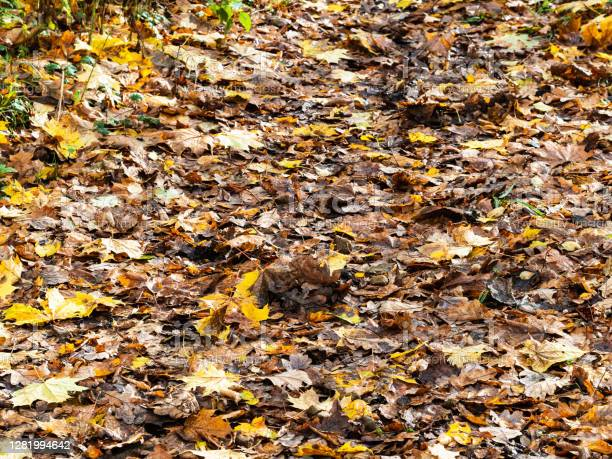 Photo of surface of footpath covered by wet fallen leaves