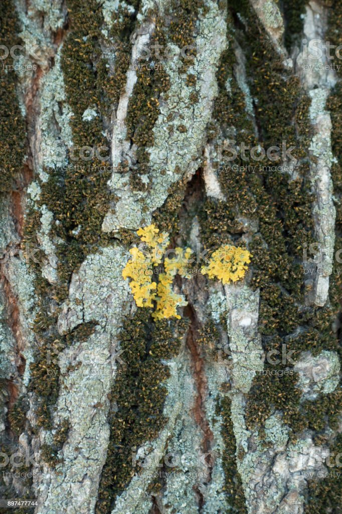 Surface Of Tree Bark With Dry Moss And Multicolored Lichen Stock