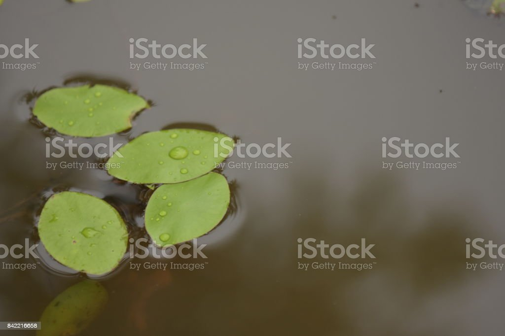 Surface tension helping four ily pads stay afloat stock photo