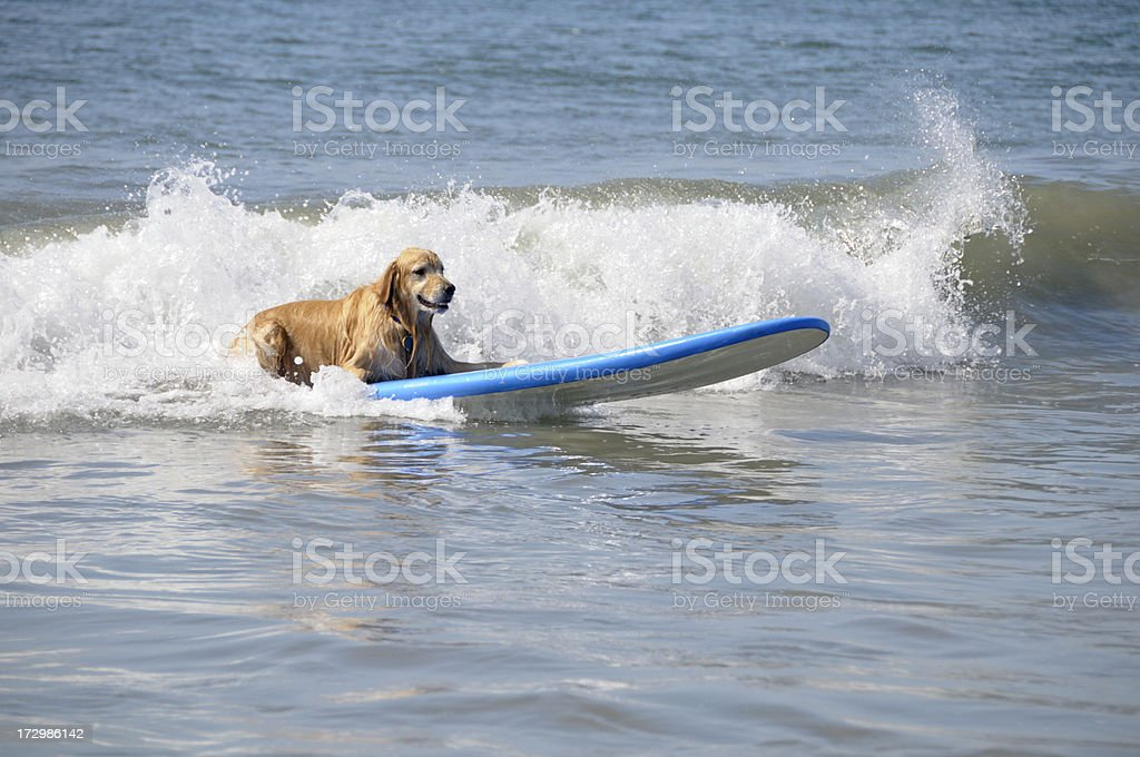 Surfing Dog royalty-free stock photo