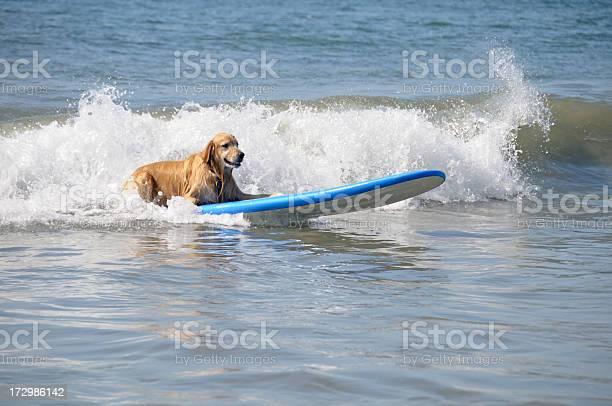 Surfing dog picture id172986142?b=1&k=6&m=172986142&s=612x612&h=ys0kq5dusxrdgj5hb ig0je v8odhewecxjguzpi5fc=