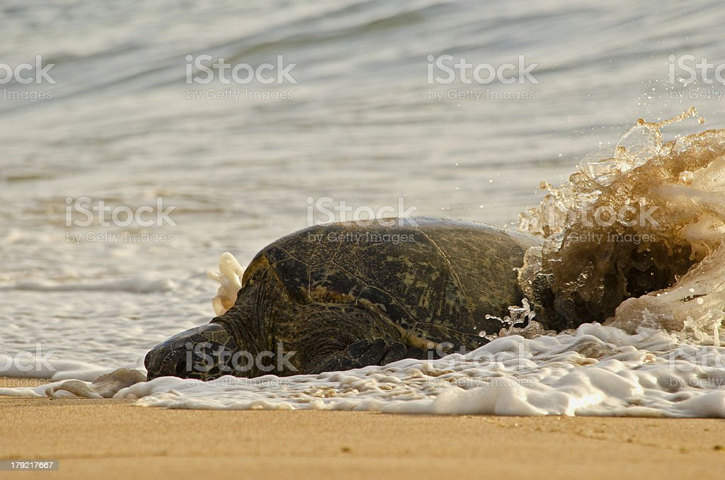 Surfing Sea Turtle royalty-free stock photo
