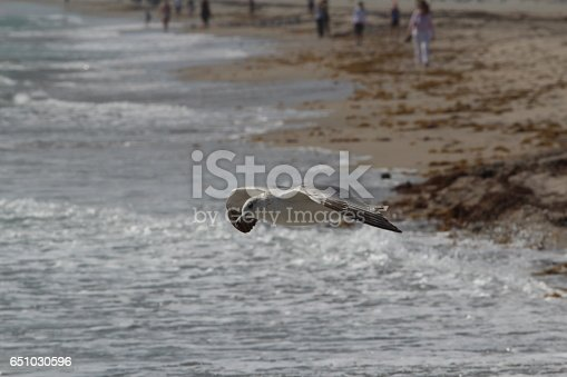 Gull gliding on the wind at the beach