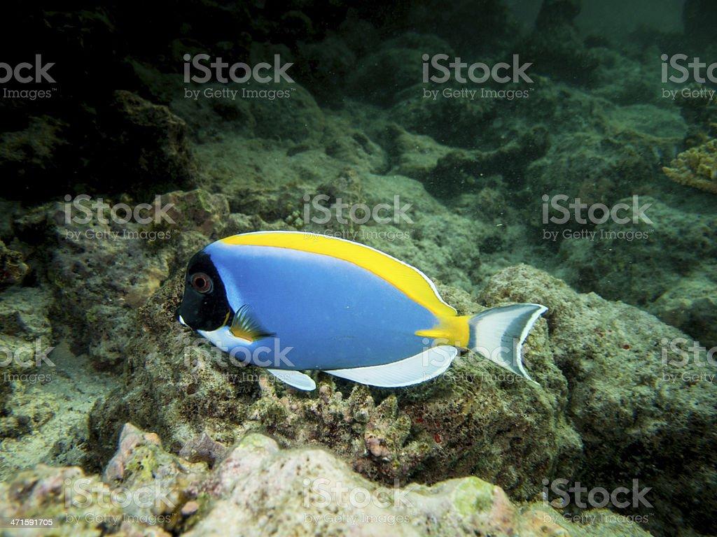 surgeon fish royalty-free stock photo