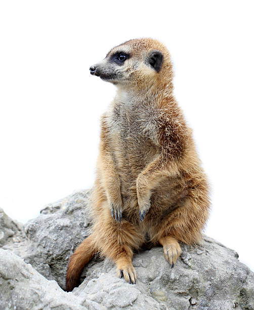 suricata isolated - meerkat stock photos and pictures