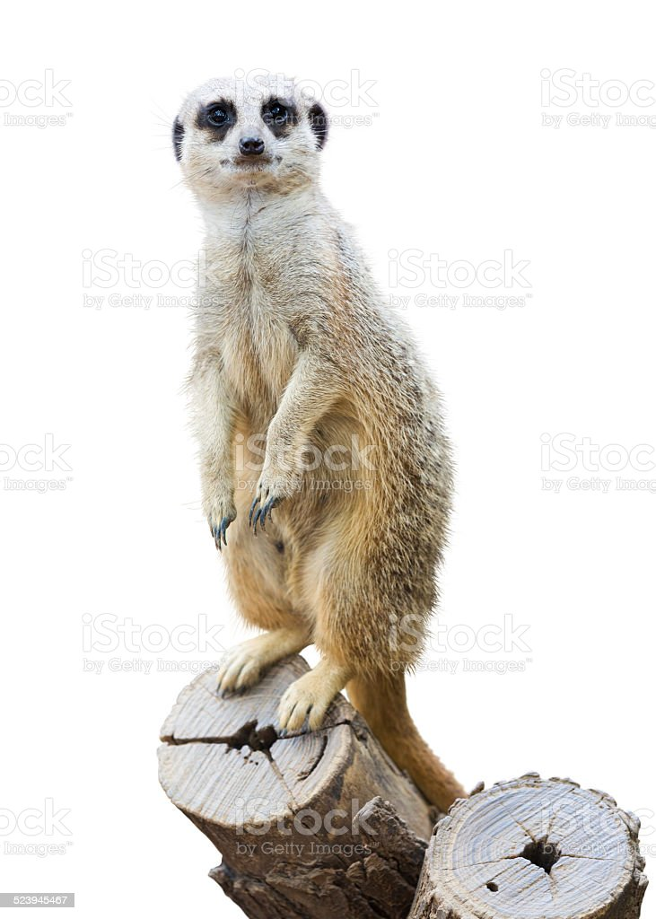 Suricata stock photo