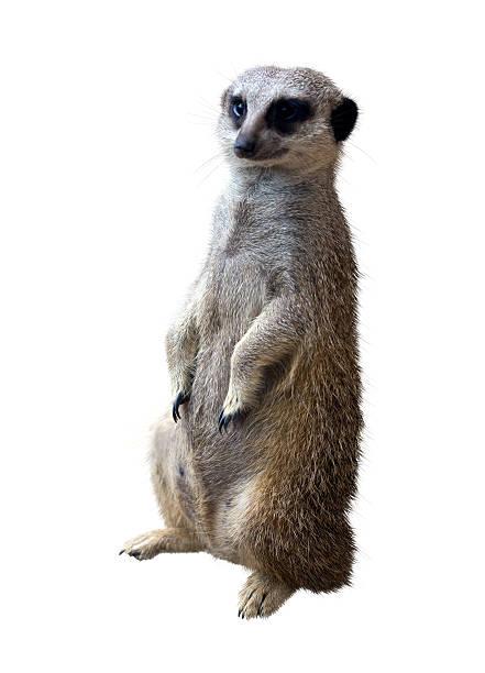 suricata - meerkat stock photos and pictures